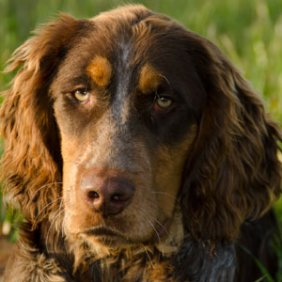 Пикардийский эпаньоль описание породы, фото, характеристика, клички для собак, цена щенков, гипоаллергенный: нет
