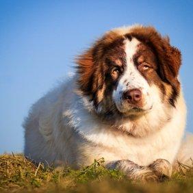Торньяк описание породы, фото, характеристика, клички для собак, цена щенков, гипоаллергенный: нет