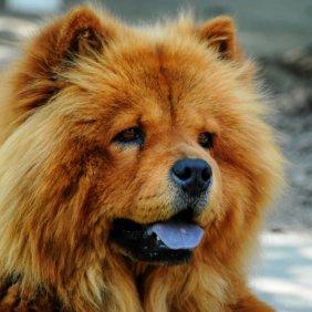 Чау-чау описание породы, фото, характеристика, клички для собак, цена щенков, гипоаллергенный: нет