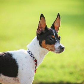 Рэт-терьер описание породы, фото, характеристика, клички для собак, цена щенков, гипоаллергенный: нет