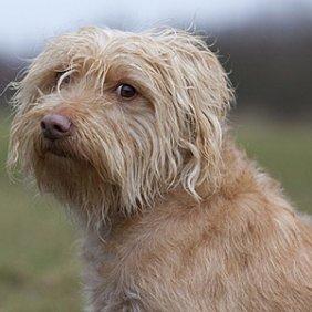 Голландский смаусхонд описание породы, фото, характеристика, клички для собак, цена щенков, гипоаллергенный: нет