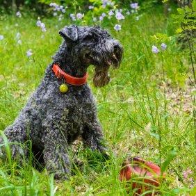 Керри-блю-терьер описание породы, фото, характеристика, клички для собак, цена щенков, гипоаллергенный: да