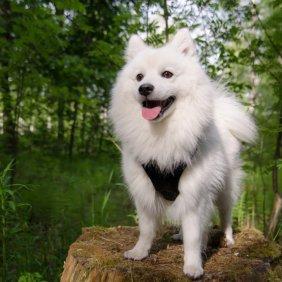 Японский шпиц описание породы, фото, характеристика, клички для собак, цена щенков, гипоаллергенный: нет