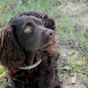 Бойкин-спаниель описание породы, фото, характеристика, клички для собак, цена щенков, гипоаллергенный: нет