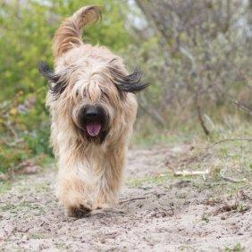 Каталонская овчарка описание породы, фото, характеристика, клички для собак, цена щенков, гипоаллергенный: нет