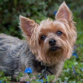 Австралийский шелковистый терьер описание породы, фото, характеристика, клички для собак, цена щенков, гипоаллергенный: да