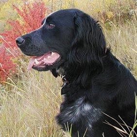 Голубой пикардийский спаниель описание породы, фото, характеристика, клички для собак, цена щенков, гипоаллергенный: нет