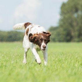 Дрентский патрийсхонд описание породы, фото, характеристика, клички для собак, цена щенков, гипоаллергенный: нет
