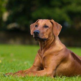 Родезийский риджбек описание породы, фото, характеристика, клички для собак, цена щенков, гипоаллергенный: нет