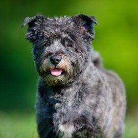 Керн-терьер описание породы, фото, характеристика, клички для собак, цена щенков, гипоаллергенный: да