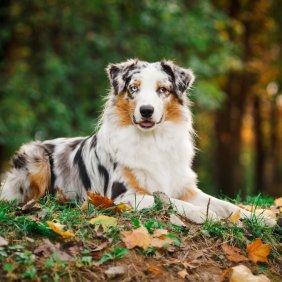Австралийская овчарка описание породы, фото, характеристика, клички для собак, цена щенков, гипоаллергенный: нет