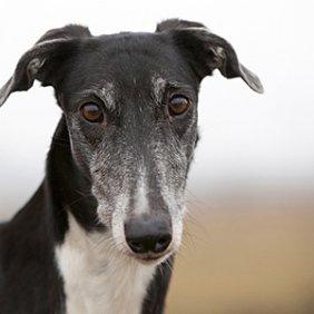 Польская борзая описание породы, фото, характеристика, клички для собак, цена щенков, гипоаллергенный: нет