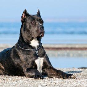 Кане-корсо описание породы, фото, характеристика, клички для собак, цена щенков, гипоаллергенный: нет