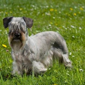 Чешский терьер описание породы, фото, характеристика, клички для собак, цена щенков, гипоаллергенный: да