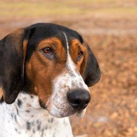 Древесная енотовая гончая описание породы, фото, характеристика, клички для собак, цена щенков, гипоаллергенный: нет