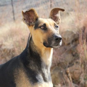 Африканис описание породы, фото, характеристика, клички для собак, цена щенков, гипоаллергенный: нет