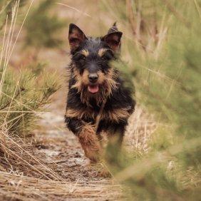 Немецкий ягдтерьер описание породы, фото, характеристика, клички для собак, цена щенков, гипоаллергенный: нет