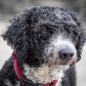 Испанская водяная собака описание породы, фото, характеристика, клички для собак, цена щенков, гипоаллергенный: да