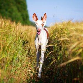 Ивисская собака описание породы, фото, характеристика, клички для собак, цена щенков, гипоаллергенный: нет