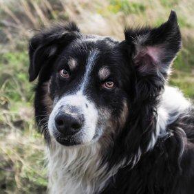 Английская овчарка описание породы, фото, характеристика, клички для собак, цена щенков, гипоаллергенный: нет