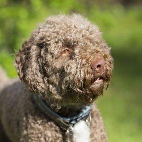 Лаготто романьоло описание породы, фото, характеристика, клички для собак, цена щенков, гипоаллергенный: да