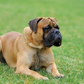 Английский мастиф описание породы, фото, характеристика, клички для собак, цена щенков, гипоаллергенный: нет