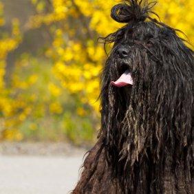 Бергамская овчарка описание породы, фото, характеристика, клички для собак, цена щенков, гипоаллергенный: да