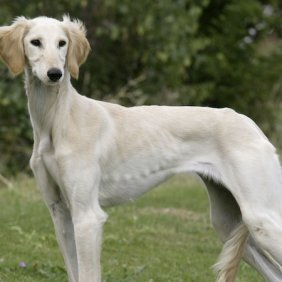 Караванная борзая описание породы, фото, характеристика, клички для собак, цена щенков, гипоаллергенный: нет