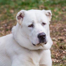 Среднеазиатская овчарка описание породы, фото, характеристика, клички для собак, цена щенков, гипоаллергенный: нет