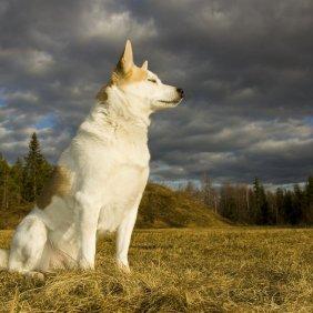 Норботтен шпиц описание породы, фото, характеристика, клички для собак, цена щенков, гипоаллергенный: нет