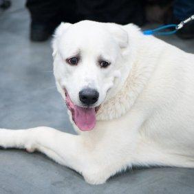 Акбаш описание породы, фото, характеристика, клички для собак, цена щенков, гипоаллергенный: нет