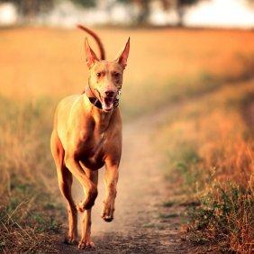 Фараонова собака описание породы, фото, характеристика, клички для собак, цена щенков, гипоаллергенный: нет