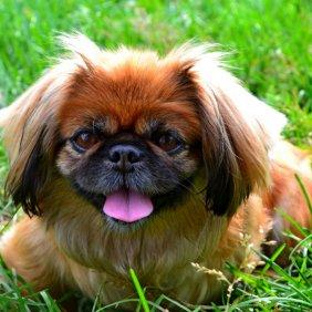 Пекинес описание породы, фото, характеристика, клички для собак, цена щенков, гипоаллергенный: нет
