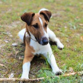 Гладкошёрстный фокстерьер описание породы, фото, характеристика, клички для собак, цена щенков, гипоаллергенный: нет