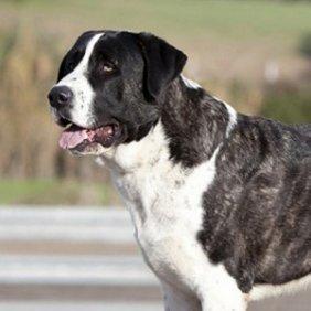 Рафейру ду Алентежу описание породы, фото, характеристика, клички для собак, цена щенков, гипоаллергенный: нет
