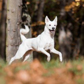Ханаанская собака описание породы, фото, характеристика, клички для собак, цена щенков, гипоаллергенный: нет