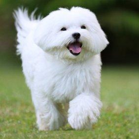 Мальтийская болонка описание породы, фото, характеристика, клички для собак, цена щенков, гипоаллергенный: да