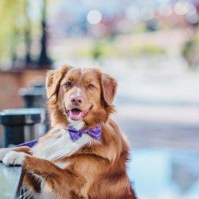 Новошотландский ретривер описание породы, фото, характеристика, клички для собак, цена щенков, гипоаллергенный: нет
