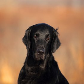 Прямошёрстный ретривер описание породы, фото, характеристика, клички для собак, цена щенков, гипоаллергенный: нет