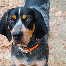Крапчато-Голубой Кунхаунд описание породы, фото, характеристика, клички для собак, цена щенков, гипоаллергенный: нет
