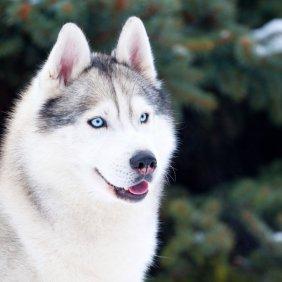 Сибирский хаски описание породы, фото, характеристика, клички для собак, цена щенков, гипоаллергенный: нет