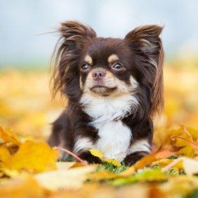 Чихуахуа описание породы, фото, характеристика, клички для собак, цена щенков, гипоаллергенный: нет