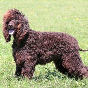 Ирландский водяной спаниель описание породы, фото, характеристика, клички для собак, цена щенков, гипоаллергенный: да