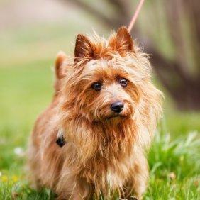 Австралийский терьер описание породы, фото, характеристика, клички для собак, цена щенков, гипоаллергенный: да