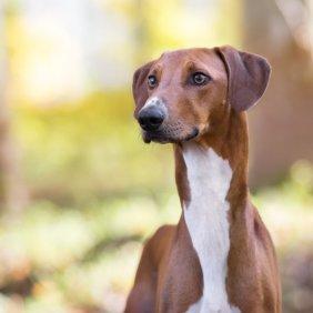 Азавак описание породы, фото, характеристика, клички для собак, цена щенков, гипоаллергенный: нет