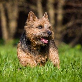 Норвич-терьер описание породы, фото, характеристика, клички для собак, цена щенков, гипоаллергенный: да