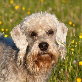 Денди-динмонт-терьер описание породы, фото, характеристика, клички для собак, цена щенков, гипоаллергенный: да