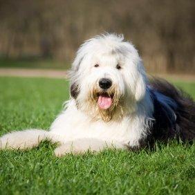 Бобтейл описание породы, фото, характеристика, клички для собак, цена щенков, гипоаллергенный: нет