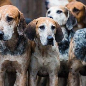 Английский фоксхаунд описание породы, фото, характеристика, клички для собак, цена щенков, гипоаллергенный: нет