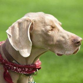 Веймаранер описание породы, фото, характеристика, клички для собак, цена щенков, гипоаллергенный: нет